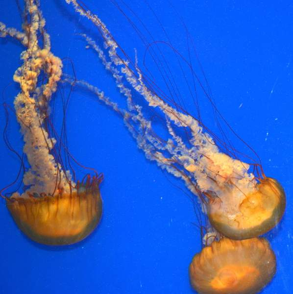 Jellyfishes
