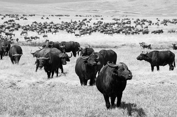 IMGP2429-Ngorongoro by Buutopia