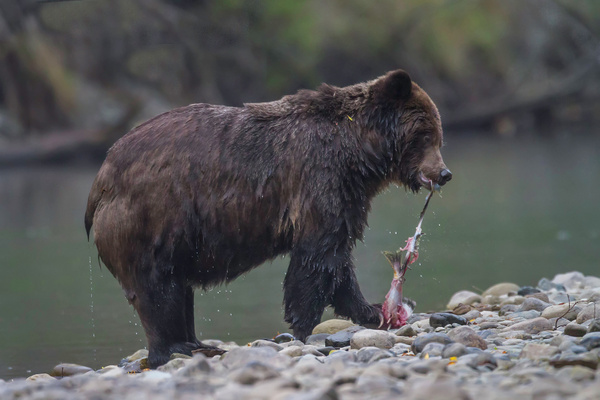 Grizzly_Bear_Strips_Salmon_Of_Skin_Along_Stream_BE102381D7 - 2015 Showcase Competition  - The Yerba Buena Chapter of the PSA