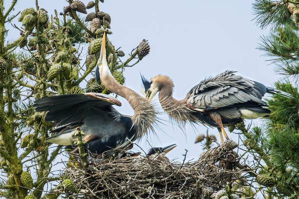 A Egret Family-Youmans Hsiong - 2016 Showcase Competition - The Yerba Buena Chapter of the PSA