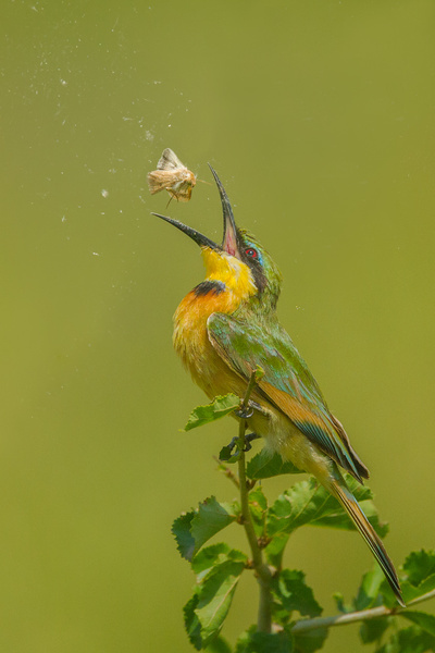Little Bee Eater Toss Moth In Air Before Swallowing_Bruce Finocchio - 2017 Showcase Competition - The Yerba Buena Chapter of the PSA