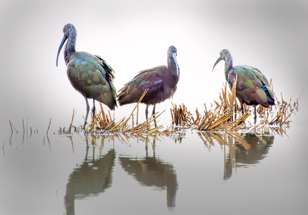 Three Glossy Ibis - 2018 Showcase Competition - The Yerba Buena Chapter of the PSA