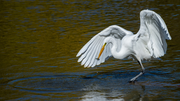 Great egret feeding ballet - 2018 Showcase Competition - The Yerba Buena Chapter of the PSA