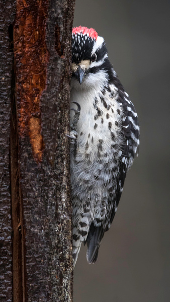 Male Nuttall's Woodpecker Hugs Tree Bark In A Listening Posture - 2018 Showcase Competition - The Yerba Buena Chapter of the PSA
