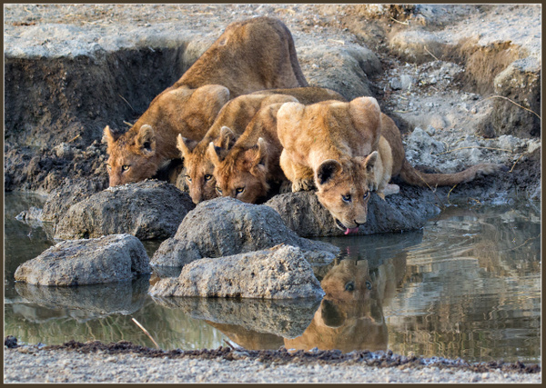 Lion Cubs Drinking - 2018 Showcase Competition - The Yerba Buena Chapter of the PSA