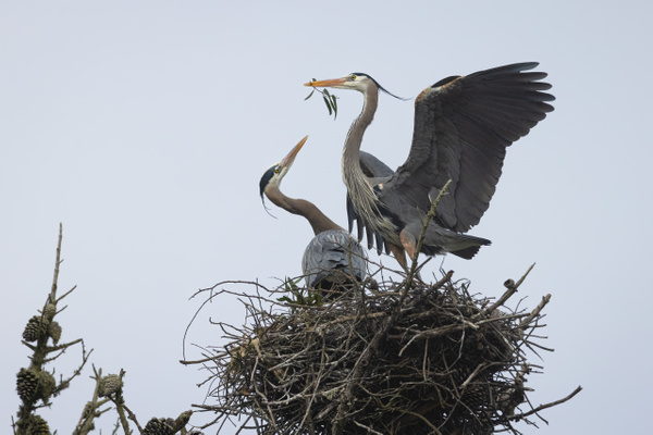 Male Great Blue Heron Offers Eucalyptus Leaves To Female To Strengthen Courtship Bond - 2021 Showcase Competition Winners - The Yerba Buena Chapter - PSA