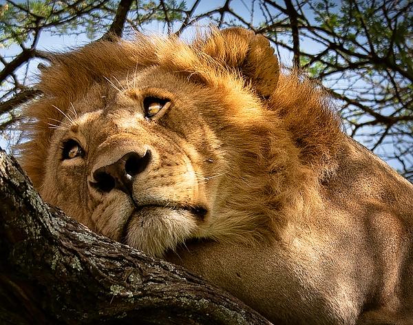 lion by RichardFinn