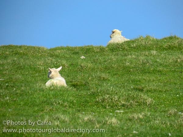 Shetland lambs listening by Carra Riley