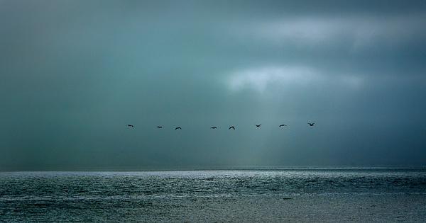 43.Pelican Flight by Harvey Abernathey
