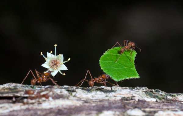 45.Leaf-Cutter Ants by Harvey Abernathey