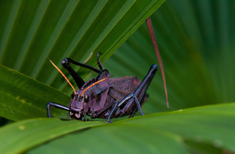 46.Leaf-eating Black Grasshopper