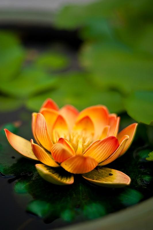 4.Lotus Blossom