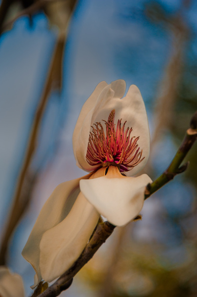 3.Magnolia by Harvey Abernathey
