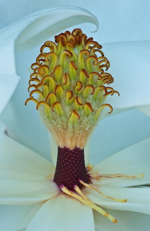 8.Magnolia Blossom