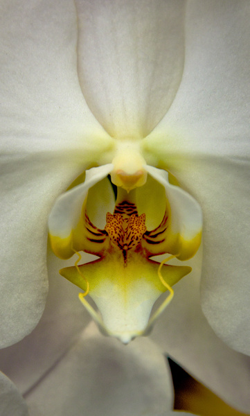 9.Orchid by Harvey Abernathey
