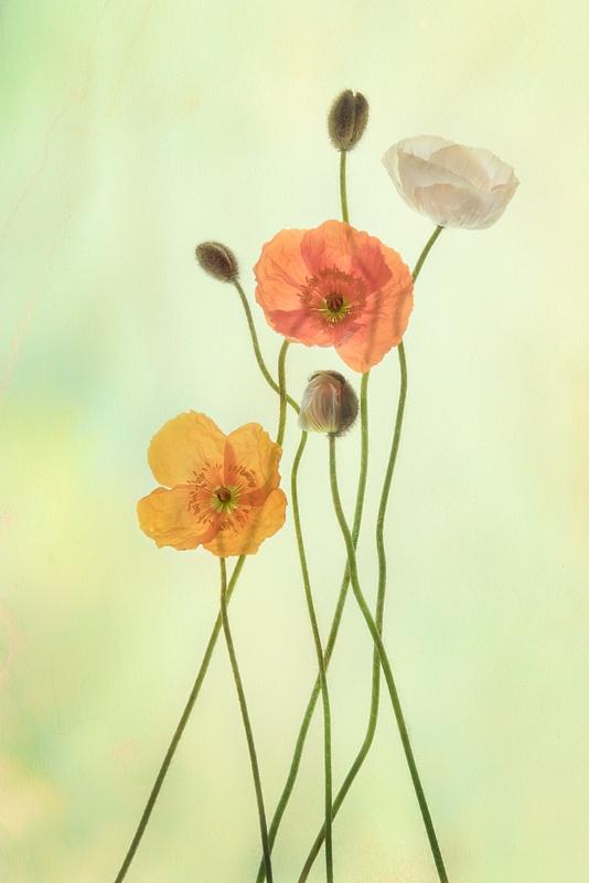 1.Poppies