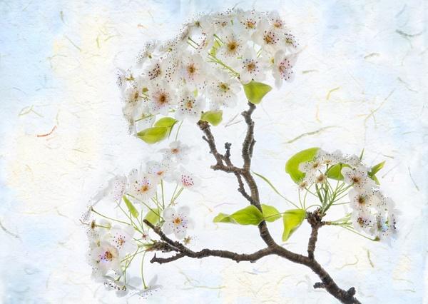 10.White Blossom by Harvey Abernathey