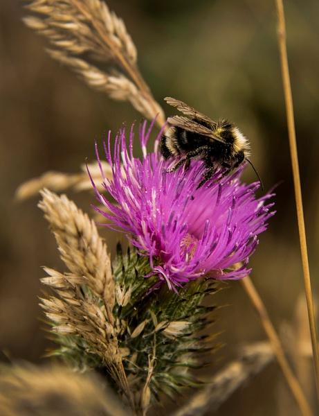 33.Thistle_Bee by Harvey Abernathey