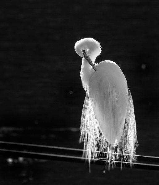 26_Backlit Egret_BW by Harvey Abernathey