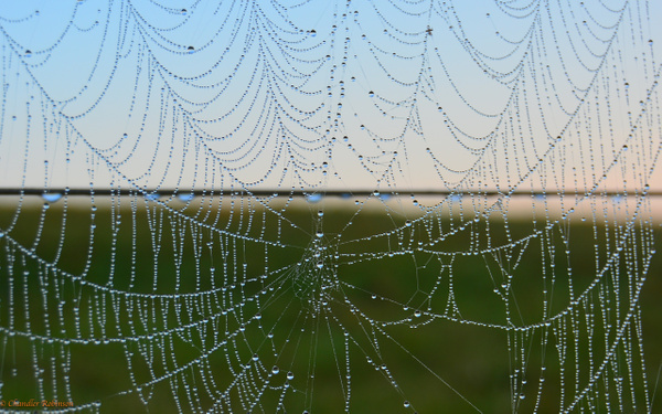 Web dew by CC Robinson