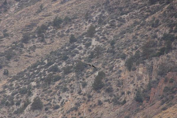 Eagle in Flight by JennHicks