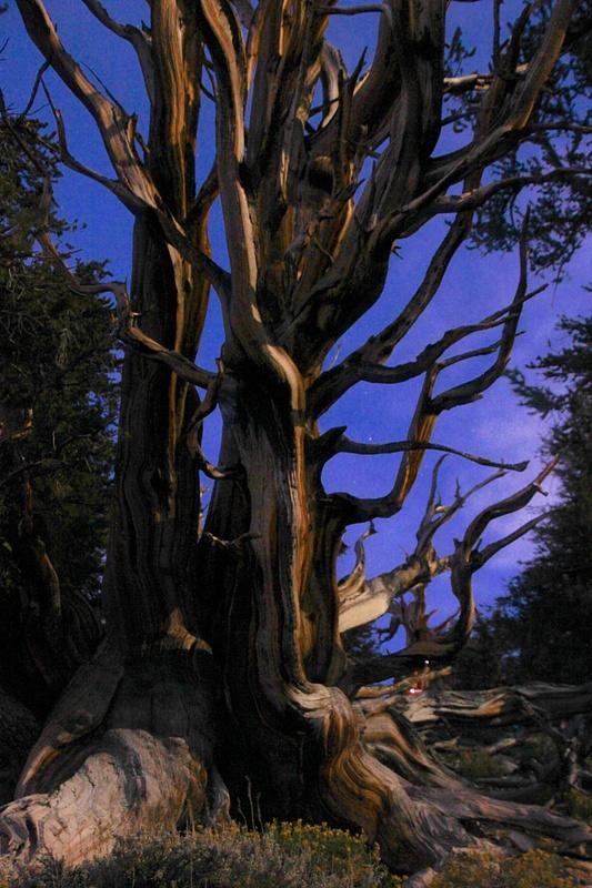 Majestic Bristlecone