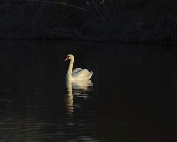 Golden Swan 10x8